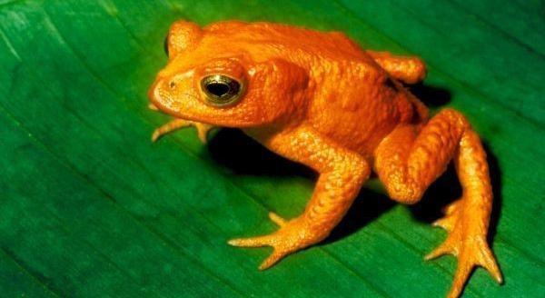 Sapo Dorado (incilius periglenes)